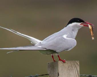 Arctic tern with fish