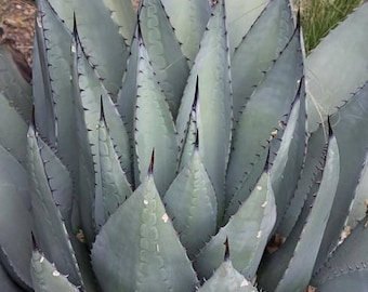 Agave havardiana (Very cold hardy) / 10 seeds