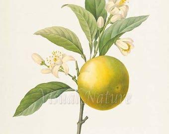 Orange Botanical Print, Orange Art Print, Fruit Art, Fruit Print, Kitchen Art, Garden, Redoute Art, white, Oranger a fruits deprimes