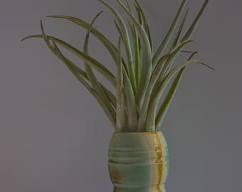 Tillandsia Harrisii Airplant in IcclePot No 1 (108)