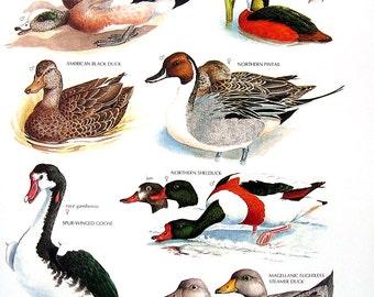 Vintage Bird Print - American Wigeon, American Black Duck, African Pygmy Goose, Northern Pintail, Shelduck - 1990 Vintage Book Page - 11 x 9