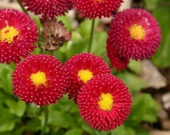 English Daisy Red Flower Seeds (Bellis Perennis) 200+Seeds