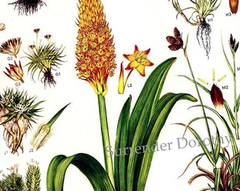 Lily Orchid Flowers Antarctica Arctic Circle Botanical Exotica Large Vintage Illustration To Frame 7