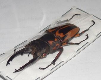 45MM PROSOPOCOILUS ZEBRA NOBUYUKII  Real Insect Taxidermy