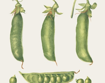 Botanical Vegetable Art Print - Peas Watercolor Painting by Sally Jacobs