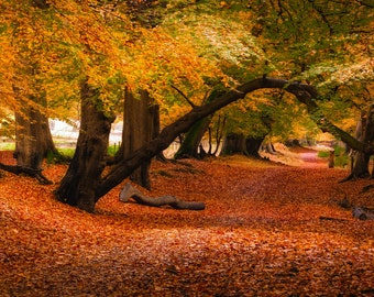 Lady's Walk, Autumn, Panorama, Ashridge, Trees, Framed Print, Print