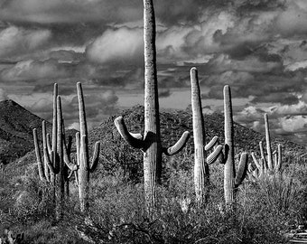 "Saguaro Cactus, National Park, Tucson Arizona, Sonoran Desert, Wilderness Canyon, Black and White, Landscape Photograph ""Saguaro Cacti"""