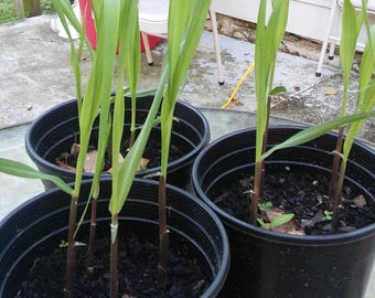 4 Sugar Cane Plant, Sweet Chewing Sugar Cane Plant