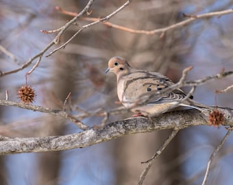 Mourning Dove Fine Art Photo Print - Wildlife Photography - Bird Photography - Nature Photography - Gifts for Nature Lovers - Dove Photos