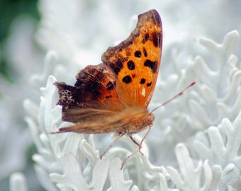 Ohio Photography, Butterfly on Flower that Looks like Coral, Mason, Summer, Color
