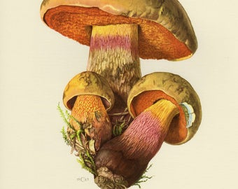 Vintage lithograph of lurid bolete from 1963