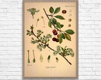 Botanical Art Print Cherry, Vintage Botanical Home Decor, Cherry Poster, Kitchen Poster, Kitchen Illustration 1887, Giclee Print