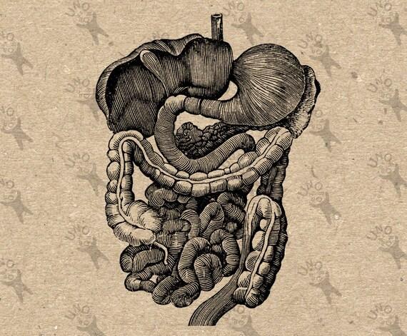 Antigua imagen sistema digestivo anatomía humana Retro dibujo