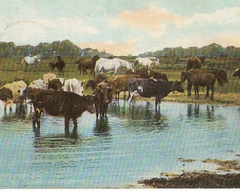 Cattle paddling in pond