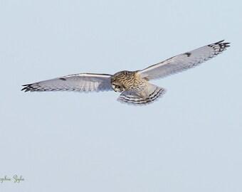 Short-eared Owl Survey