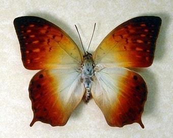 Dad's & Grad's Gift Real Framed Orange African Sunrise Butterfly Charaxes Fulvescens 532