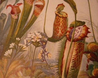 Carnivorous Plants Botanical 1904 - vibrant color prints - Venus Fly Trap - Science Illustration - Print only or with Mat Ships fast