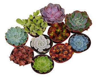 4 Inch Assorted Succulent Plant Collection - live succulents, potted succulents, bulk succulents, wholesale succulents, succulent gifts