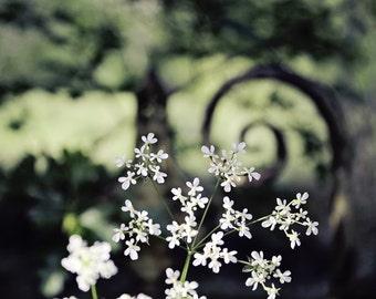 Flower Print - Queen Anne's Lace Fine Art Photograph - Irish Wildflower Photography - Dark Floral Art