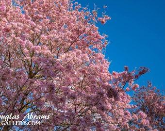 Pink Trumpet Tree in Bloom