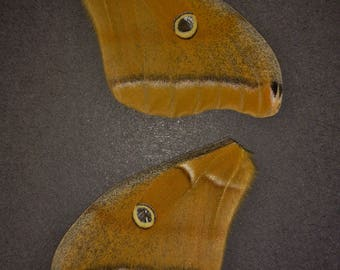 Full Set of Polyphemus Moth Wings