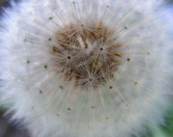 SALE - Float - 5x7 Nature Photography - Home Decor Photo - Dandelion Puff Botanical Print - IN STOCK