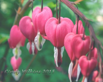 bleeding hearts,flower wall art,flowers,pink flowers,cottage garden,hearts,red,English garden,square print,fine art photography