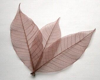 Brown Skeleton Leaves
