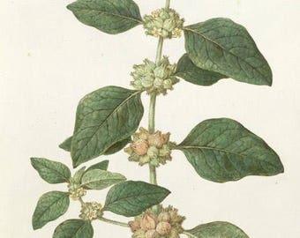 Ashwaganda Tincture, Organic - Ayurvedic herb - For stress, concentration, depression - adaptogenic, nervine, anti-inflammatory, 1 oz