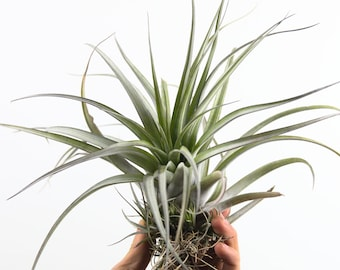 "Tillandsia Extensa, Large 9-12"", Colorful Air Plant, Hardy Air Plant"