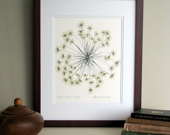 Pressed flower print, 11x14 double matted, Queen Anne's Lace wildflower single bloom, wall decor no. 0013