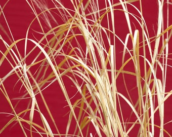 Switchgrass, Canvas Art, Giclee Print, Fine Art Photography, Nature Photography, Modern Decor, Modern Art, Square, Red, Natural, Modern Home