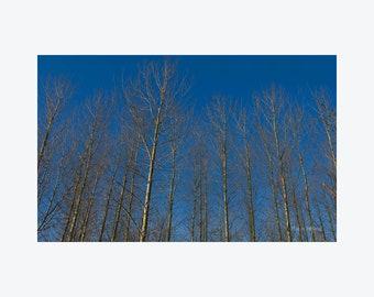 Ireland Photography, Poplar Trees, Irish Landscape