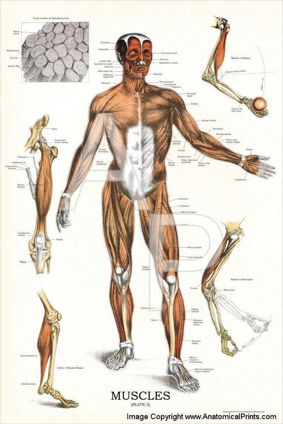 Menschlichen Muskel Anatomie Poster 24 X 36