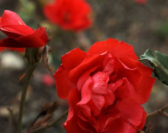Red Rose.  Buy and frame pictures online. Your own photo canvas easily. Use professional photos to decoration.