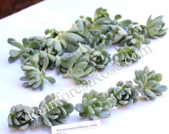 Echeveria Grey Red cutting plant Hens and Chicks Succulent Plant cactus
