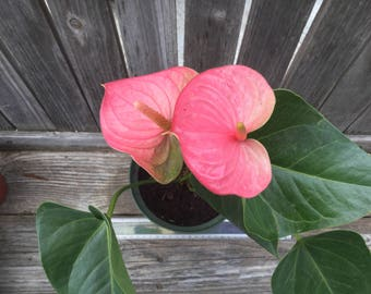 Flamingo flower etsy studio anthurium pink flamingo flower hawaiian tropical colorfully tinged with green and cream requires shade beautiful long lasting blooms mightylinksfo Images