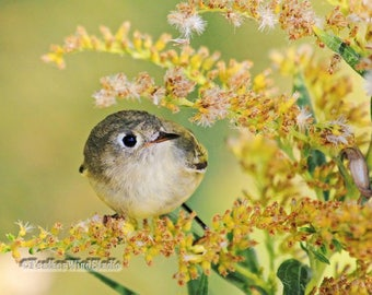 Kinglet Photo | Cute Bird Nursery Art | Gray Gold Home Office Decor | Nature Related Gift | FeatherWindStudio | Ruby Crowned Kinglet Print