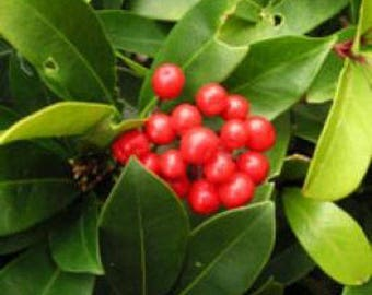Wintergreen Essential Oil - Pure | Aromatherapy | Winter green | Vienna Imports