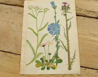Vintage antique botanical illustration U. Original book plate.Wild plants.Color illustrations flowers prints.Wall decor.Purple blue green