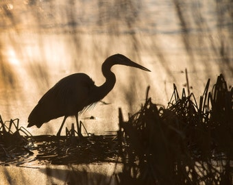 Nature Photo, Great Blue Heron, Size 8x10 inches, Color Photo, Wall Art, Office Photo