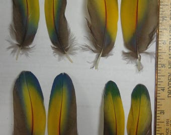Matched pair Blue Green Yellow Red Scarlet Macaw Feathers 2 to 5 inches