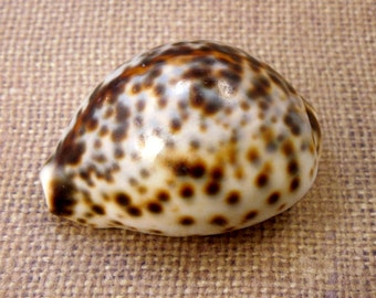 "Beautiful Tigris Shell -- Whole Shell 2-3"" (RK6B3a)"