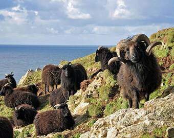 Rare Breed Hebridean RBST Free US shipping