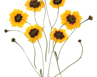 Pressed flowers, golden coreopsis, garden tickseed 20pcs for floral art, craft, card making, scrapbooking