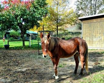 Brown Horse Photo, Horse Print, Horse Wall Art, Country Home Decor, Farm House Decor, Farm Photo, Rustic Home Decor, Rescued Horse