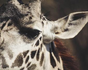 Giraffe, Wildlife Photography