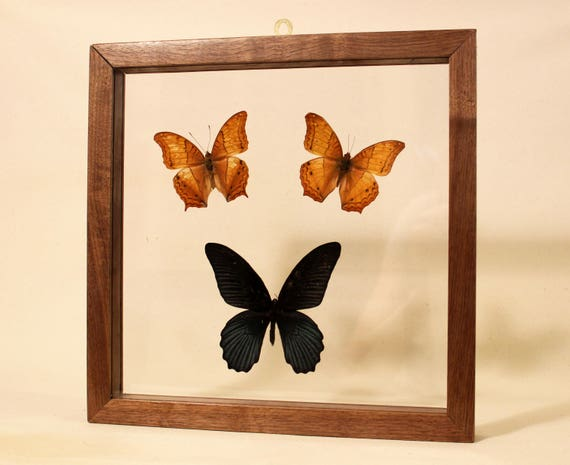 Real Framed Butterfly Butterfly Wall Art Butterfly Display