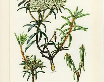 Vintage lithograph of marsh labrador tea from 1958