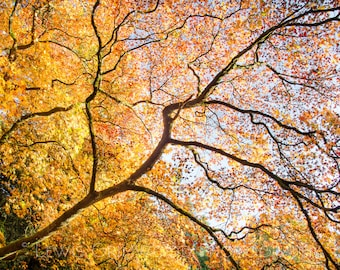 Looking up at autumn, photographic print, home wall print, landscape photo print